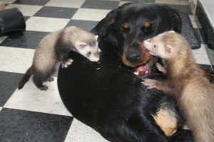 Can I Give my Ferret Dog Food?