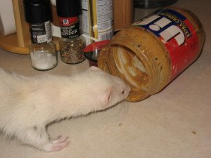 Can I Give my Ferret Peanut Butter?
