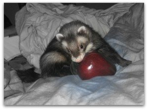 Can I give my ferret Apples?