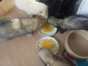 Can you give your ferret raw eggs?