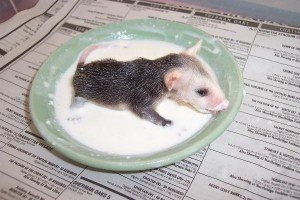 Can you give your ferret kitten milk?